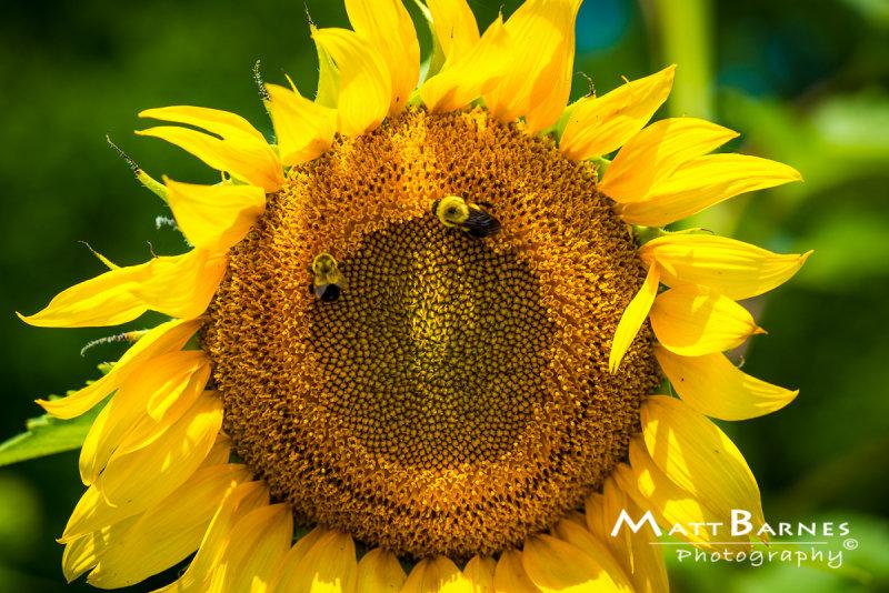 Dr. Wolffs Sunflowers-0189_4x6.JPG