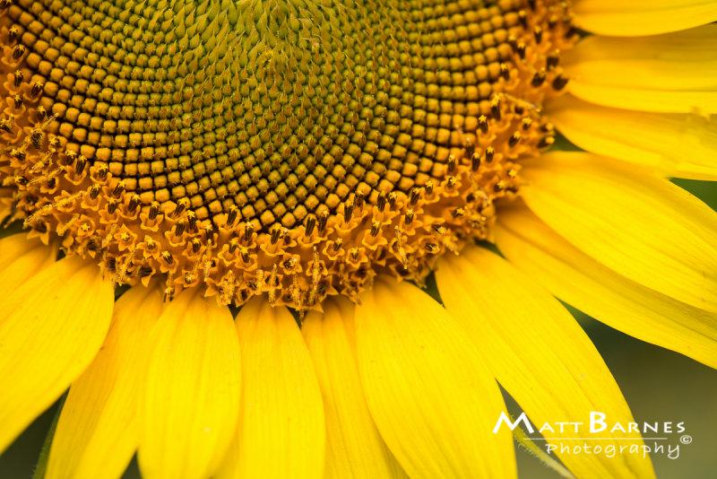 Dr. Wolffs Sunflowers-0256_4x6.JPG
