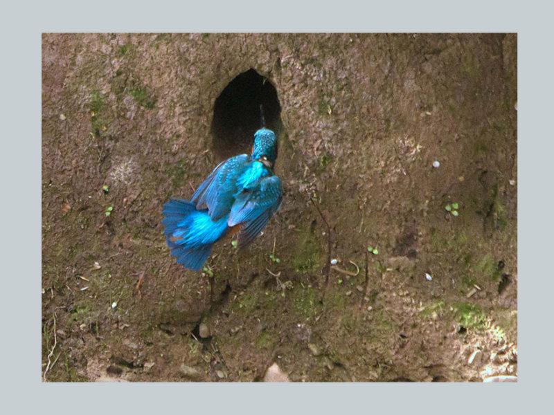 Breeding Kingfisher