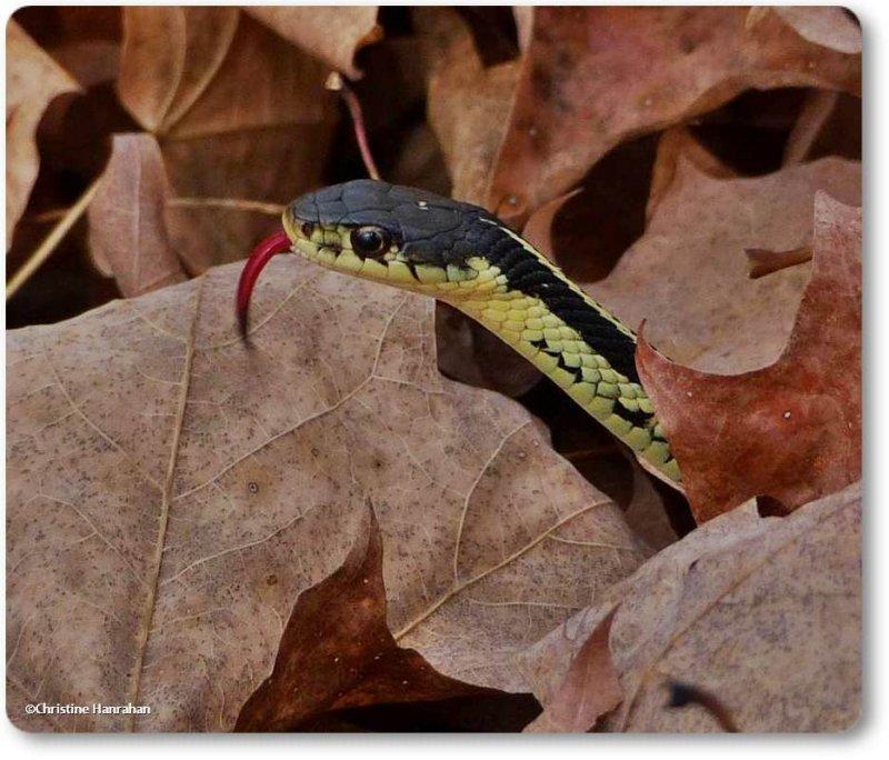Garter snake (<em>Thamnophis sirtalis</em>)