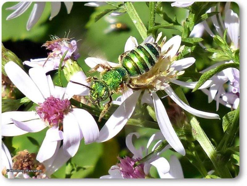 Sweat bee (<em>Augochloropsis metallica</em>)