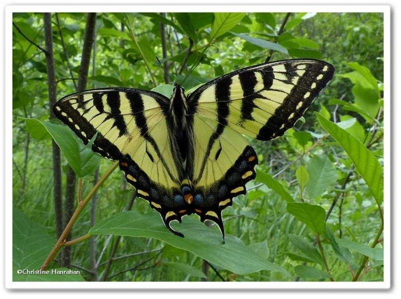 Canadian tiger swallowtail  (<em>Papilio canadensis</em>)