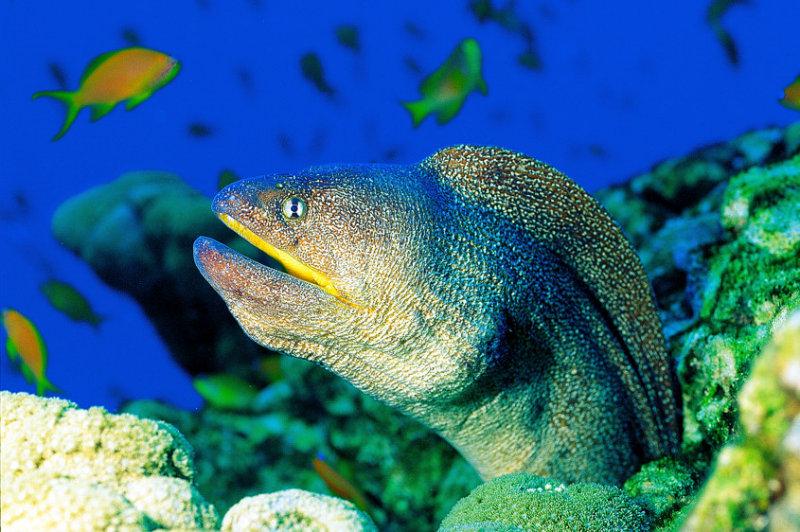 Yellowmouth Moray Eel, Gymnothorax nudivomer