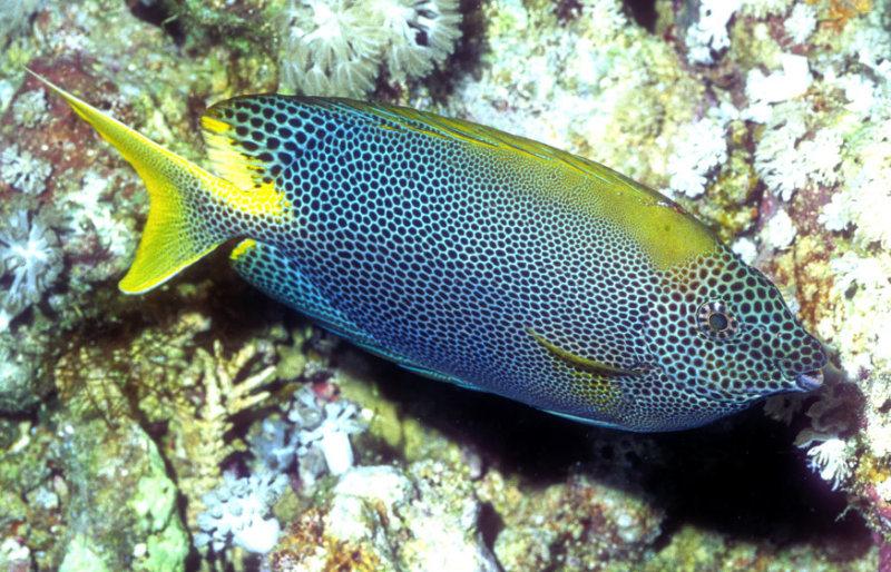 Rabbitfish Brown-spotted spinefoot - Siganus stellatus.