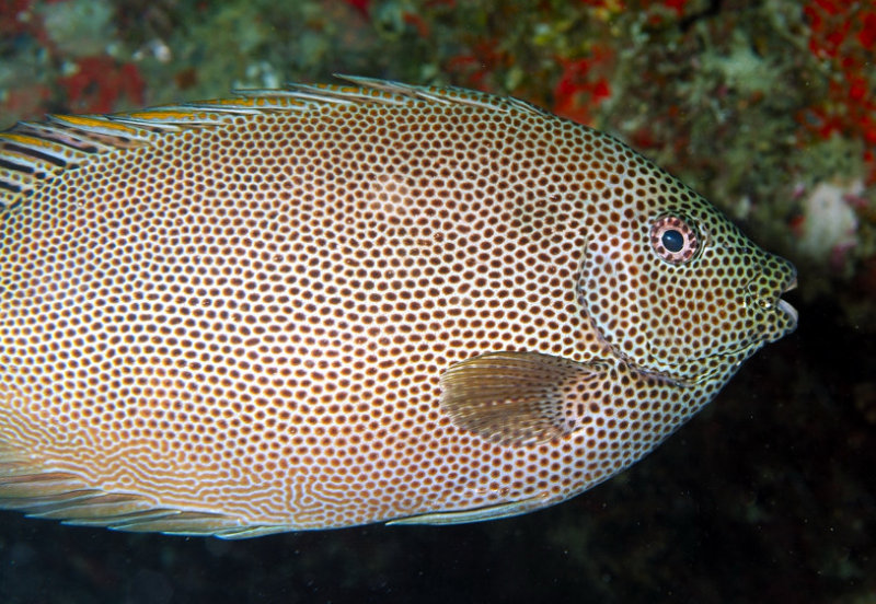 RabbitFish Close