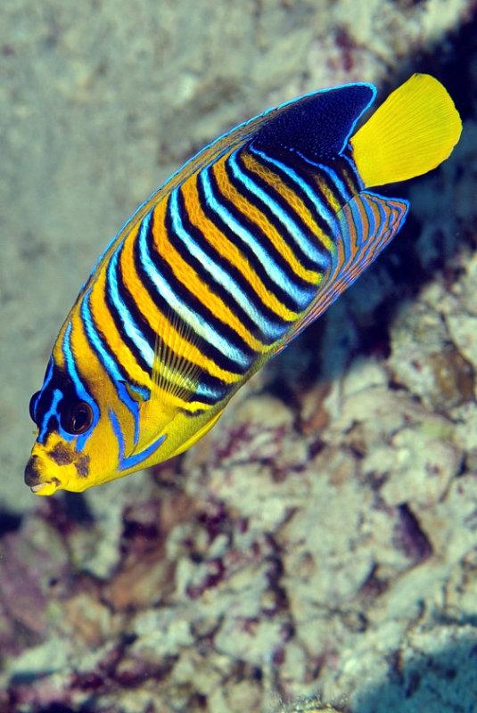 Peacock Angelfish