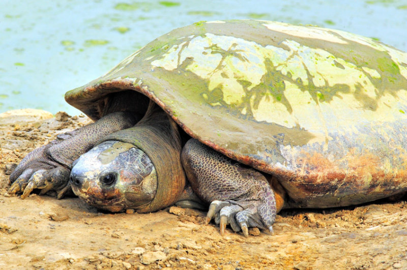 Big Bornean Turtoise
