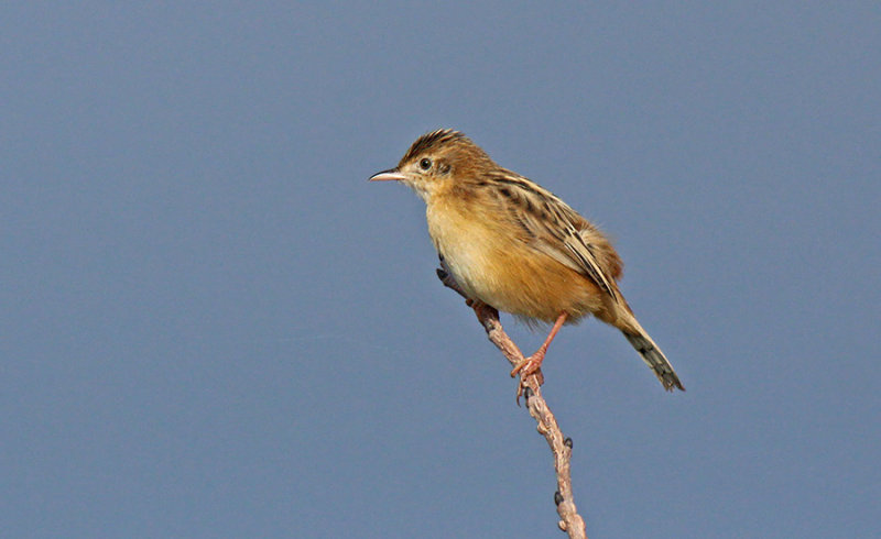 Beccamoschino - Fan-tailed Warbler