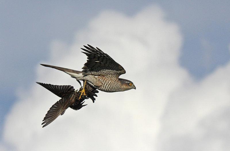 Sparviere con preda - Sparrowhawk with prey