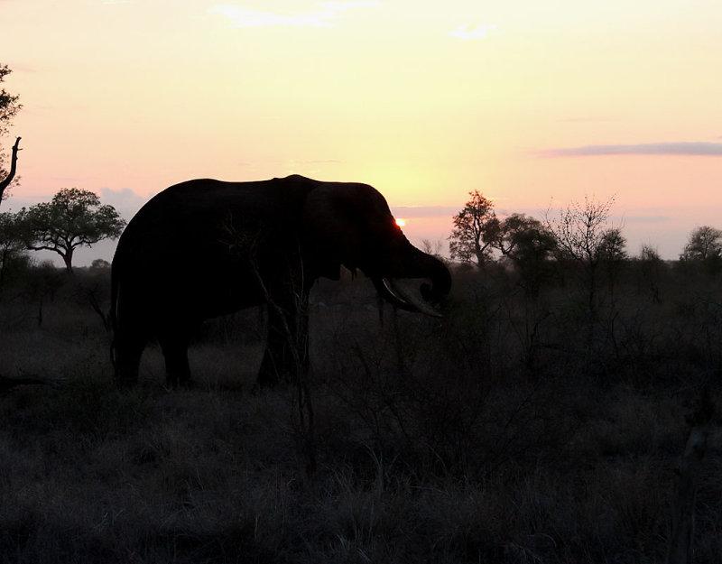 Afrikansk elefant <br> African Elephant <br> Loxodonta africana