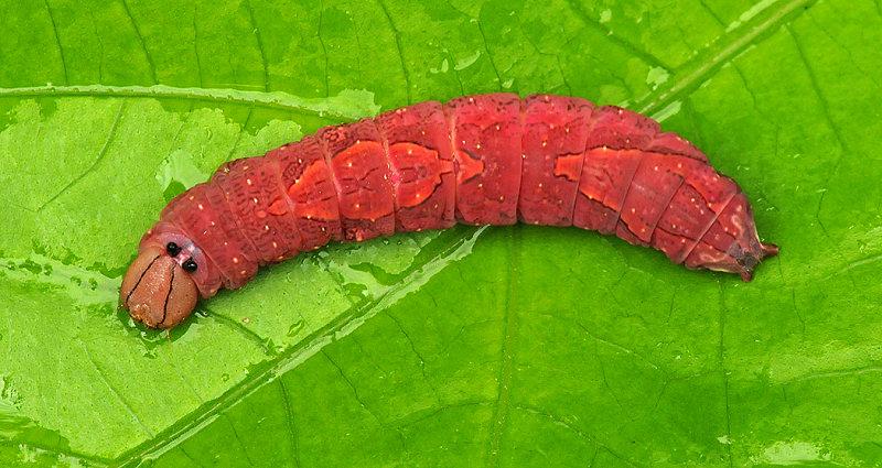 White-blotched Heterocampa Caterpillar