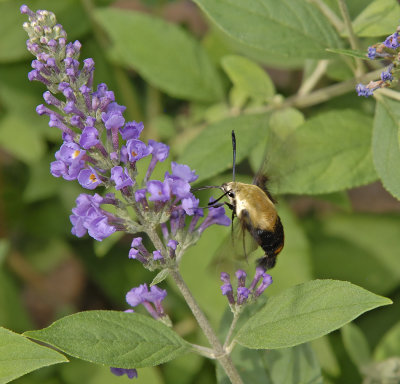 Snowberry Clearwing  (7855)