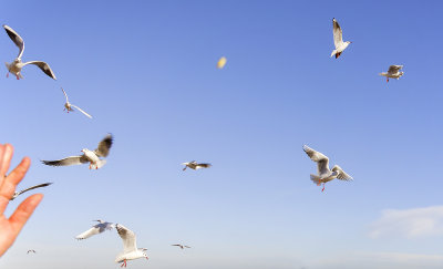 Feeding chips to the Gulls