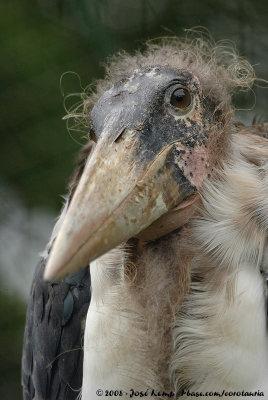 Marabou Stork<br><i>Leptoptilos crumenifer</i>