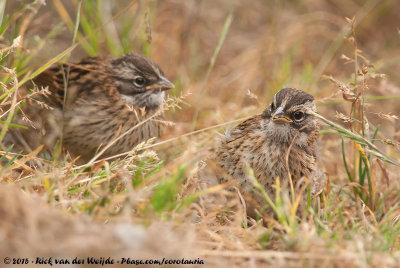 Rufous-Collared Sparrow<br><i>Zonotrichia capensis costaricensis</i>
