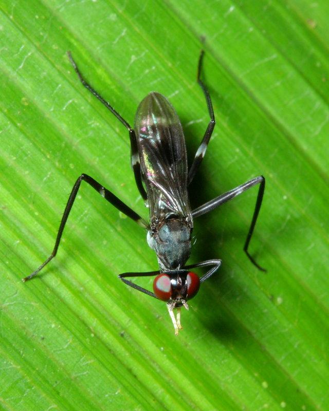 Stilt-legged Fly, Taeniaptera cf. (Micropezidae: Taeniapterinae)