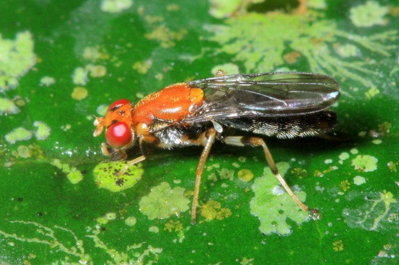 Rust Fly, Chyliza sp. (Psilidae: Chylizinae)