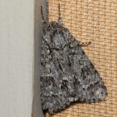 9261 Impressed Dagger Moth (Acronicta impressa)