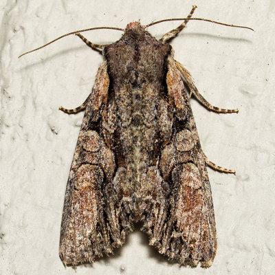 10299 Speckled Cutworm (Lacanobia subjuncta)