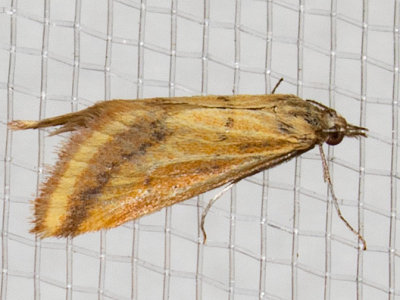 4796 Yellow-veined Moth (Microtheoris ophionalis)