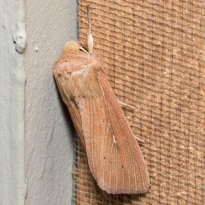 10441 Leucania farcta (Leucania farcta)