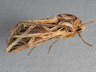 10428 Olive Green Cutworm (Dargida procinctus)