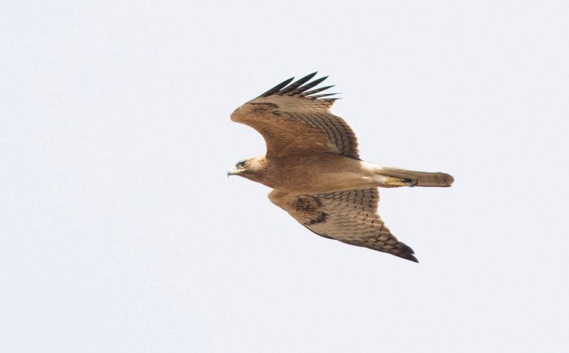 Bonelli´s Eagle (Aquila fasciata)