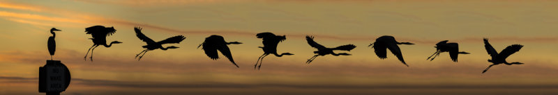 Great Blue Heron Taking Off  ---  (Composite)