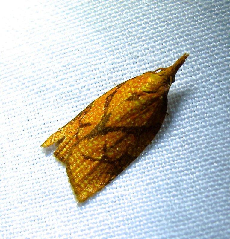 Cenopis reticulatana - 3720 - Reticulated Fruitworm Moth