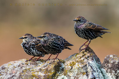 Common Starling (Sturnus vulgaris granti)