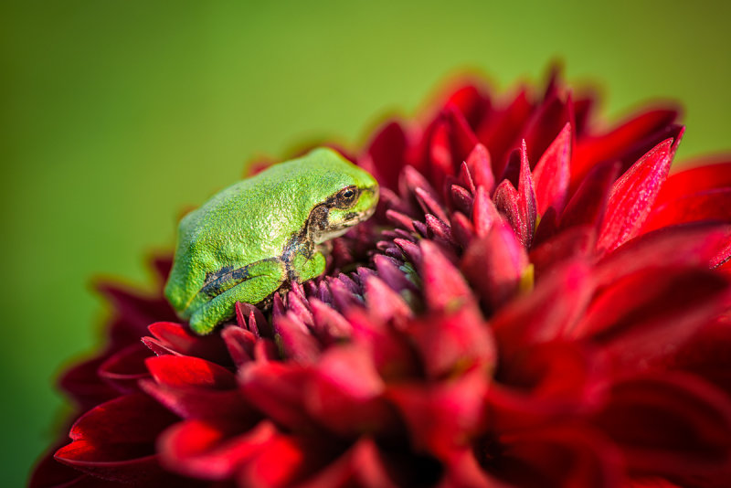 Tree frog on red Dahlia