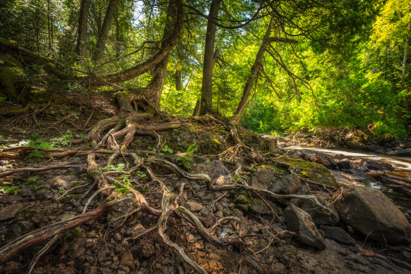 long Tree Roots
