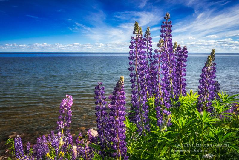 Lupins at Lake Superior