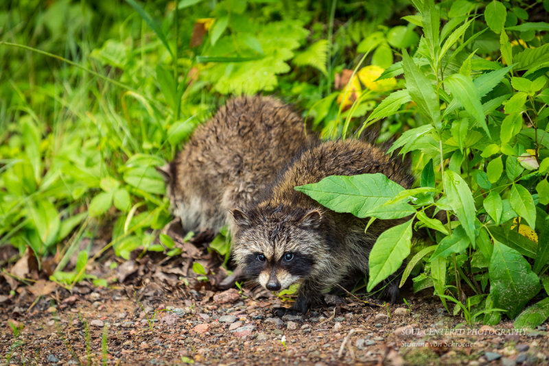 Two little raccoons
