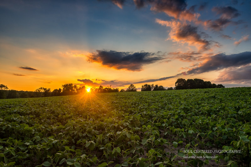 Sunset over a soybean field