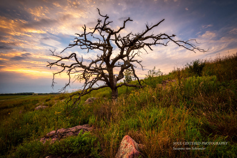 Oak tree at Blue Mounds State Park