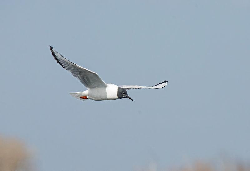 Gull, Bonapartes