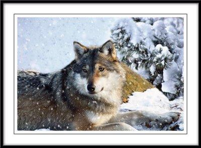 Wolf....