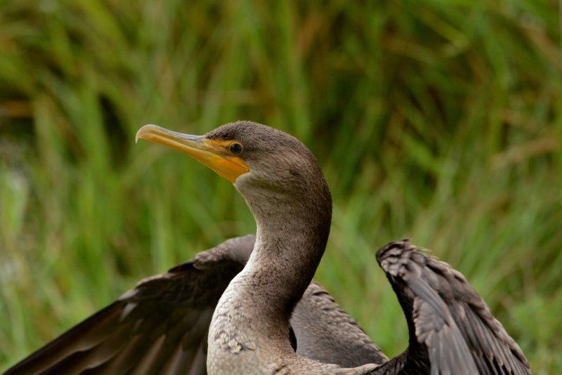 Profile of A Cormorant.