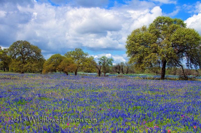Sandyland Bluebonnet Meadow