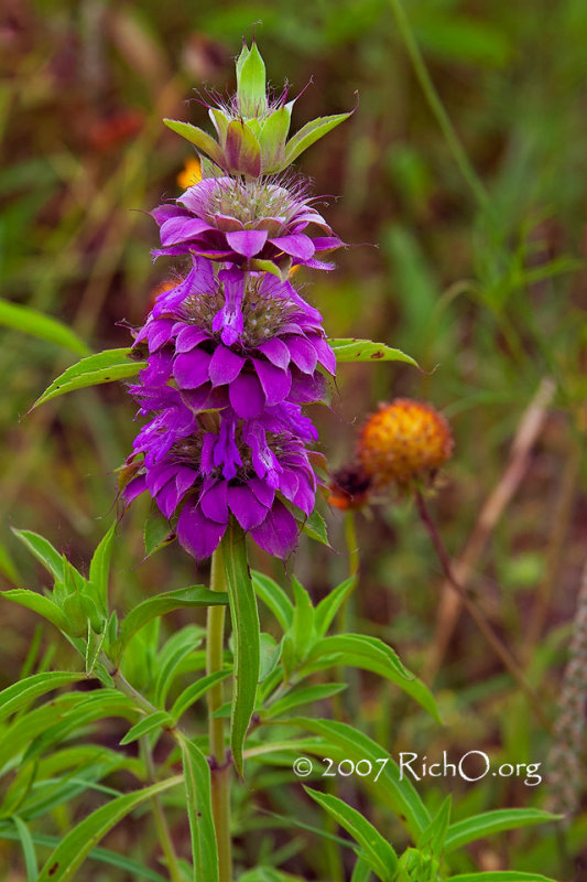 Purple Horsemint, Lemon beebalm in Bloom - Texas