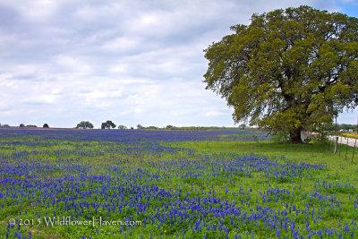 Bluebonnet Meadow Oak