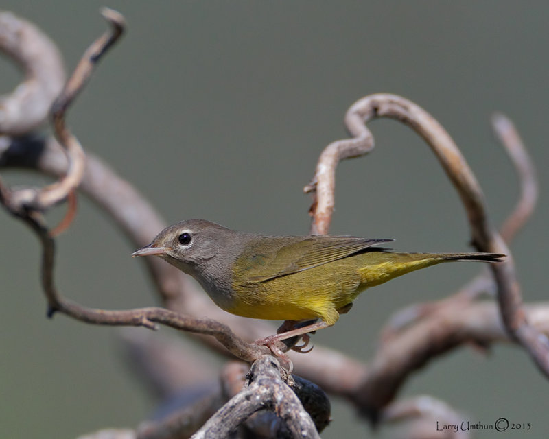 MacGillivarys Warbler