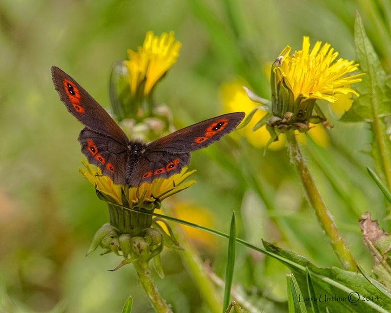 Common Alpine Butterfly