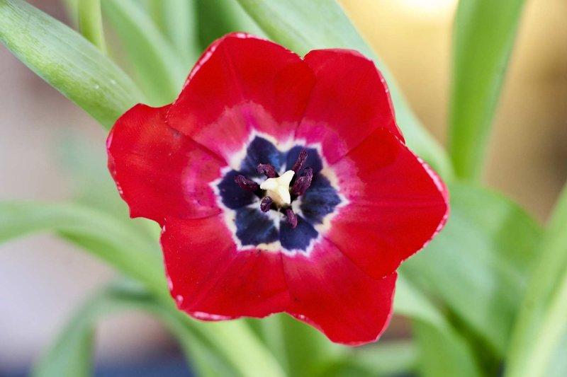 Red tulip @f4 a7