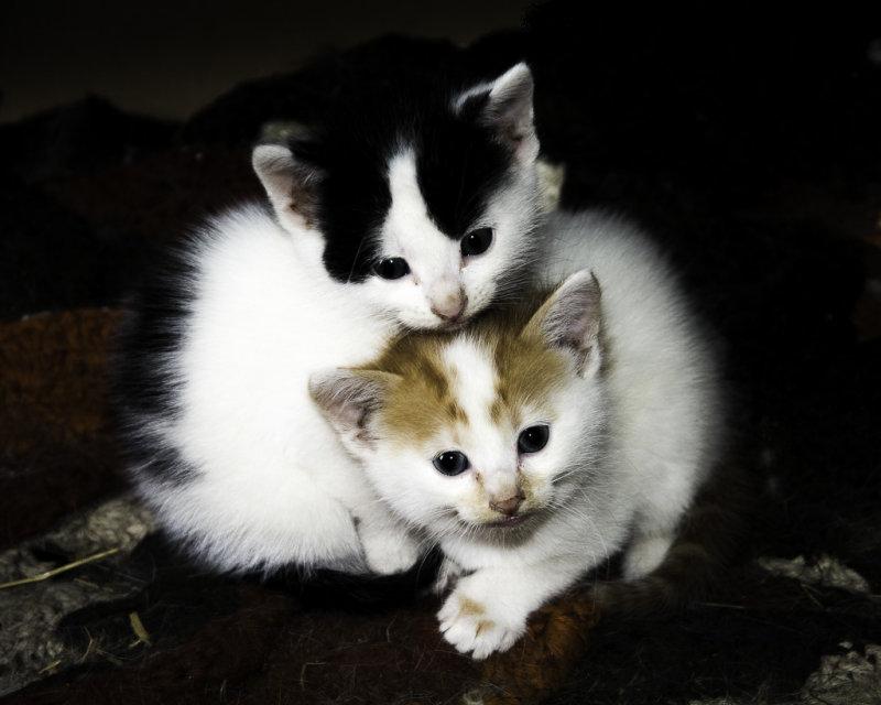 Barn Kittens.jpg
