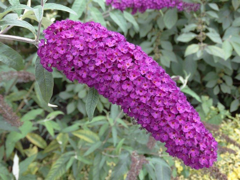 Vlinderstruik (Buddleia davidii)