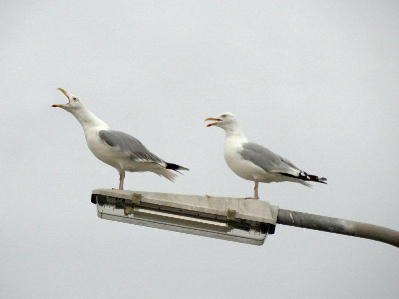Zilvermeeuw (Herring Gull)