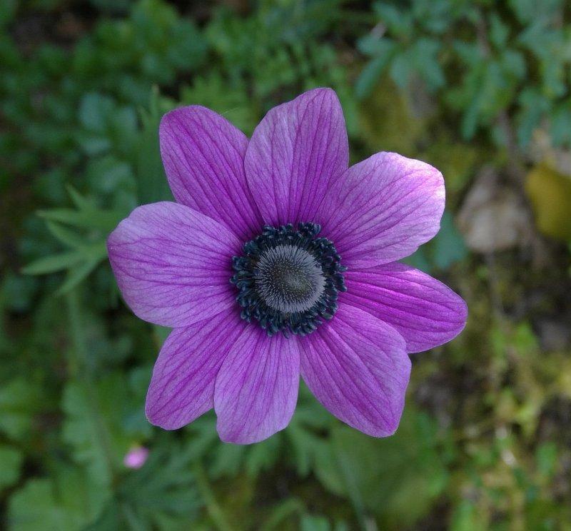 Veldanemoon (Anemone pavonina)