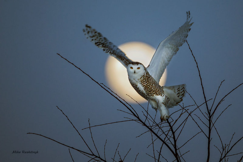 Snowy Owl - Fly Me To the Moon